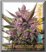Automatic Purple Monster Mix & Match Cannabis Seeds